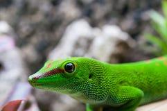 Plan rapproché vert de Phelsuma, animal familier de reptile photos libres de droits