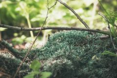 Plan rapproché vert dense scénique de mousse dans une forêt de floraison de ressort photos stock