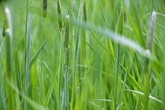 Plan rapproché vert frais d'herbe de ressort en tant que fond abstrait de nature Photographie stock