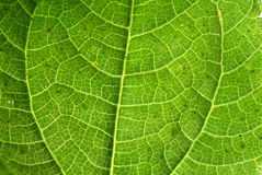 Plan rapproché vert frais de macro de texture de feuille Photo libre de droits