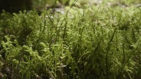 Plan rapproché vibrant d'herbe verte Fin d'instruction-macro d'herbe verte vers le haut étroit d'herbe de gisement de rosée de pr banque de vidéos