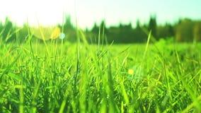 Plan rapproché vibrant d'herbe verte Instruction-macro d'herbe verte Le fond naturel abstrait de l'herbe verte et de la beauté a  banque de vidéos