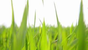 Plan rapproché vibrant lumineux d'herbe verte Le fond naturel abstrait de l'herbe verte et de la beauté a brouillé le bokeh Fin d banque de vidéos