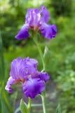 Plan rapproché violet de fleur d'iris Photographie stock libre de droits