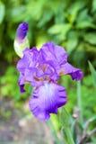 Plan rapproché violet de fleur d'iris Photo stock
