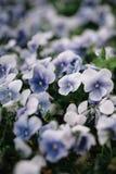 Plan rapproché violet de violettes de nobilis de Hepatica de fleur de forêt images libres de droits