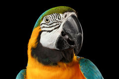 Plan rapproché bleu et visage jaune de perroquet d'ara d'isolement sur le noir Image stock