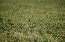 Plan rapproch? d'herbe verte Belle pelouse La texture de l'herbe verte sur le champ Fond avec l'herbe photo stock