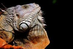 Plan rapproché d'iguane montrant la grande hampe Image stock