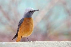 Plan rapproché d'oiseau de grive de roche botté avec la pointe du pied par short Photo libre de droits