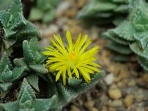 Plan rapproch? d'un cactus avec une fleur jaune image stock