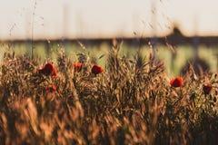 Plan rapproch? d'un champ des pavots dans un coucher du soleil d'or de ressort Image typique de ressort dans le domaine printemps image stock