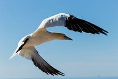 Plan rapproch? d'un fou de Bassan volant pr?s des falaises rouges de l'?le de Helgoland photo stock