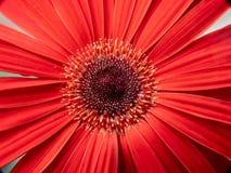 Plan rapproch? d'une fleur rouge photo libre de droits