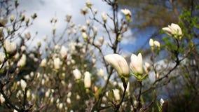 Plan rapproch? d'une magnolia blanche de floraison dans un jardin botanique contre un ciel bleu clips vidéos