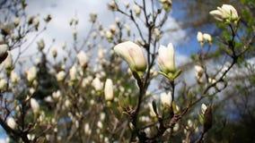 Plan rapproch? d'une magnolia blanche de floraison dans un jardin botanique contre un ciel bleu banque de vidéos