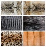 Plan rapproché de belle fourrure de vison de loup de renard. Photos stock