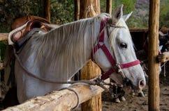 Plan rapproch? de cheval blanc photos stock