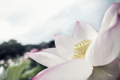 Plan rapproché de fleur de lotus rose, Chine Image libre de droits