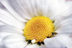 Plan rapproché de la marguerite blanche Photographie stock