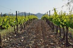 Plan rapproché de la plantation de vigne Images stock
