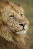 Plan rapproché de lion, stationnement national de Serengeti Image stock