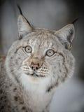 Plan rapproché de Lynx Photographie stock libre de droits