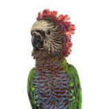 Plan rapproché de perroquet de Rouge-fan d'isolement sur le blanc Photographie stock libre de droits