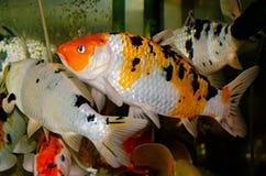 Plan rapproché de poissons d'aquarium Images libres de droits