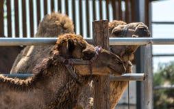 Plan rapproch? de portrait de chameau images libres de droits