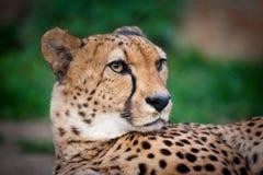 Plan rapproché de portrait de guépard Image libre de droits