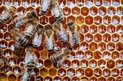 Plan rapproch? des abeilles sur le nid d'abeilles dans la ruche, rucher, foyer s?lectif image libre de droits