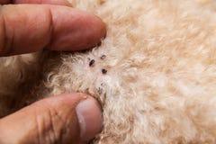 Plan rapproché des acarides et des puces infectés sur la peau de fourrure de chien Photos libres de droits