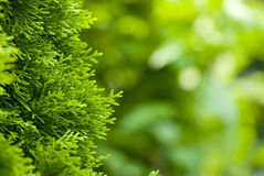 Plan rapproché des branchements d'arbre de pin Photographie stock libre de droits