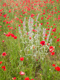 Plan rapproché des fleurs brillamment colorées de pavot et d'un wildflower dedans Images stock