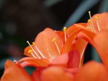 Plan rapproch? des fleurs oranges photo libre de droits