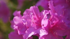 Plan rapproch? des fleurs roses de romarin sauvage banque de vidéos