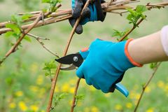 Plan rapproch? des mains faisant l'?lagage de ressort des framboisiers, jardinier dans les gants avec le pruner de jardin image stock