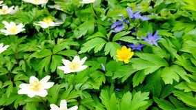 Plan rapproch? des an?mones blanches sur le vent l?ger dans un jardin botanique, une des premi?res fleurs au printemps, foyer mou clips vidéos