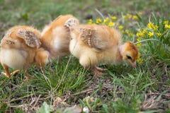 Plan rapproch? des poulets jaunes sur l'herbe, beaux petits poulets jaunes photographie stock libre de droits