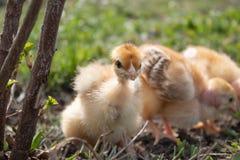 Plan rapproch? des poulets jaunes sur l'herbe, beaux petits poulets jaunes image libre de droits