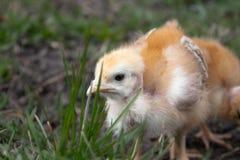 Plan rapproch? des poulets jaunes sur l'herbe, petits poulets jaunes, un groupe de poulets jaunes Aviculture photographie stock libre de droits