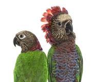 Plan rapproché des quelques perroquet de Rouge-fan d'isolement sur le blanc Image stock