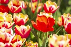 Plan rapproch? des tulipes flamb?es de rang?es rouge n?erlandais et blanc dans un domaine de fleur Hollande photographie stock libre de droits
