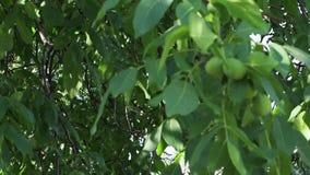 Plan rapproch? du fruit et des feuilles de noix balan?ant dans le vent banque de vidéos
