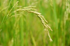 Plan rapproché II de riz Image libre de droits