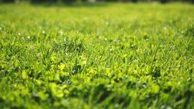 Plan rapproch? jeune herbe équilibrée verte juteuse au soleil, fond frais lumineux, texture banque de vidéos
