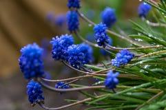 Plan rapproch? Les fleurs bleues du muscari dans la rosée, après la pluie image stock