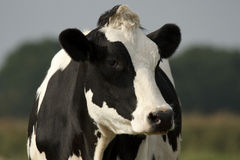 Plan rapproché noir et blanc de vache Image stock
