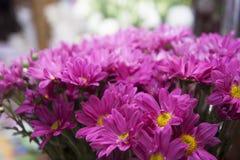 Plan rapproché pourpre de chrysanthèmes Images libres de droits